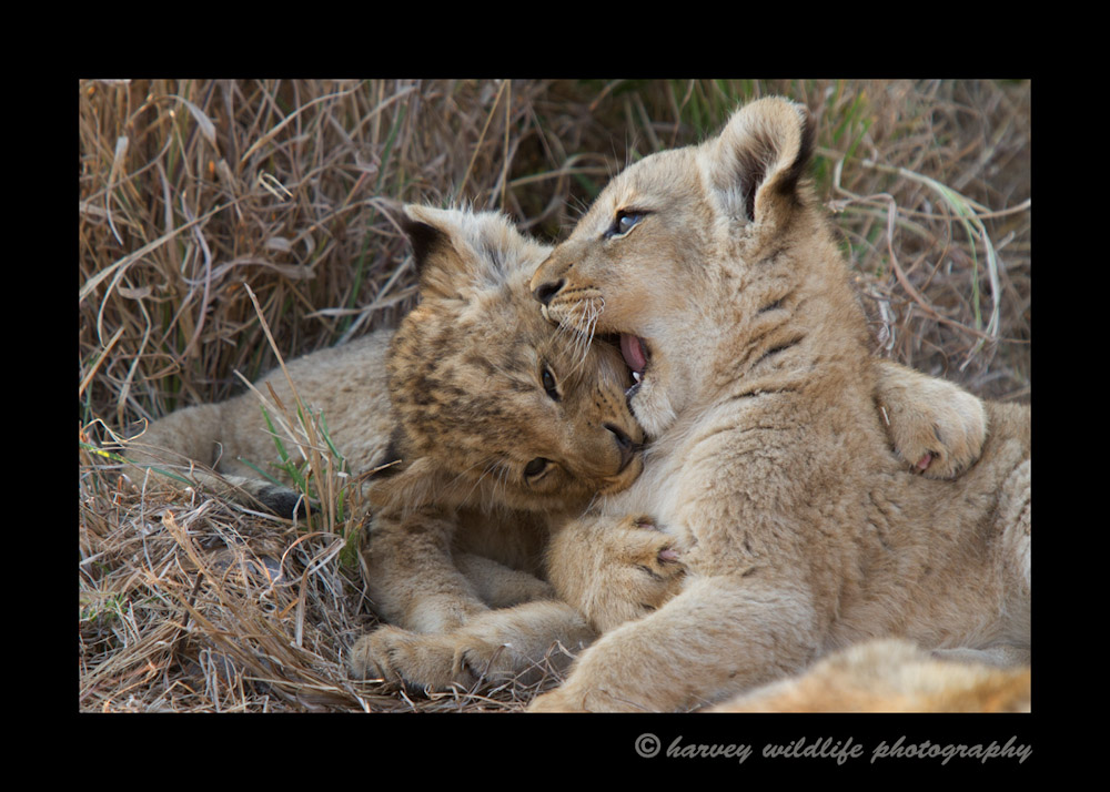 Lion-cubs-fighting-IMG_2315
