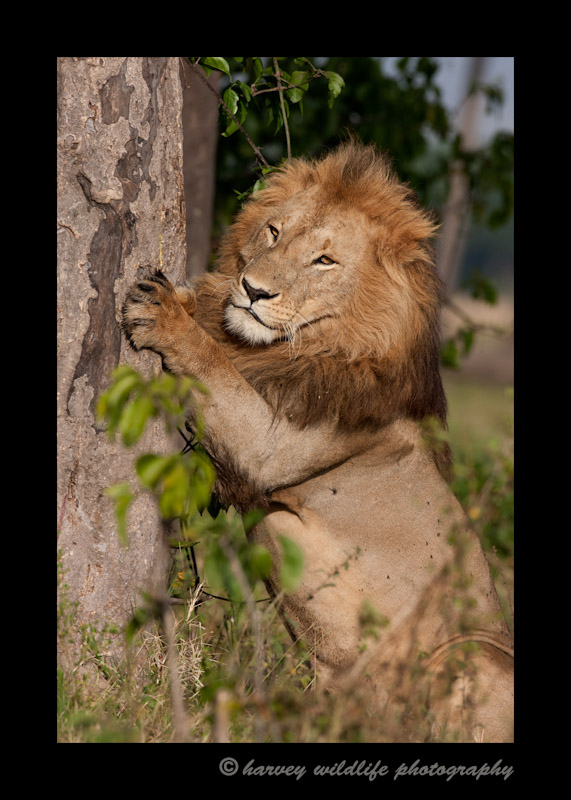 Picture of Morani, a male lion, member of the Marsh pride scratching a tree. In 2012, Morani was the dominant male in the Marsh Pride.