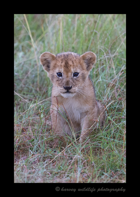 Picture of a lion cub in the rain in the Masai Mara in Kenya. Photo by Greg of Harvey Wildlife Photography.