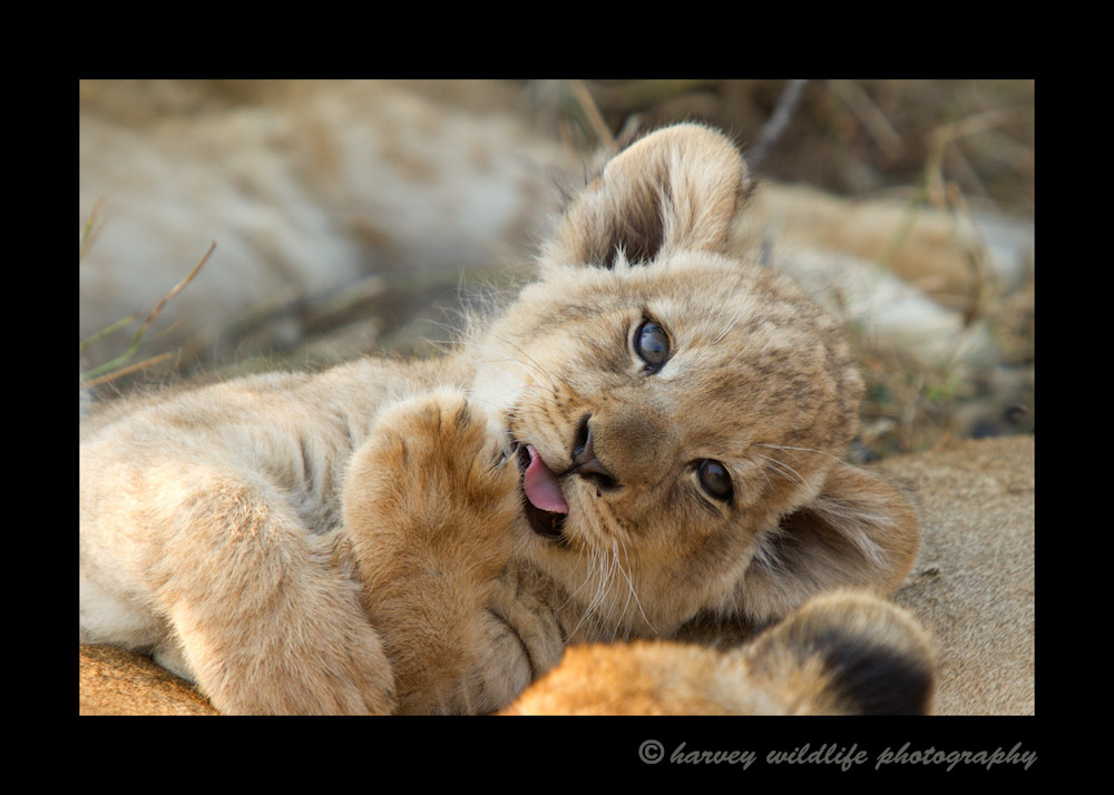 Lion_Cub_IMG_2110