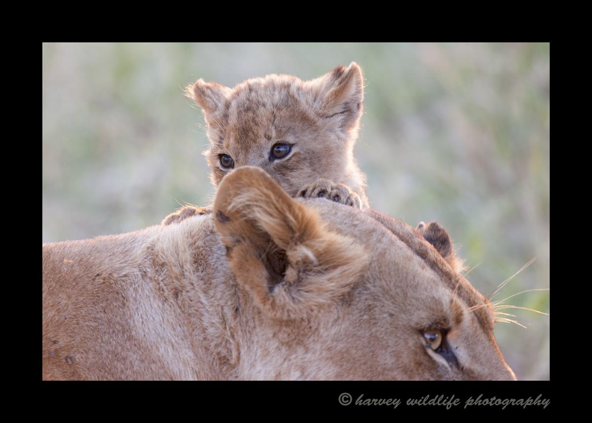 Lion_Cub_Lioness_Masai_Mara