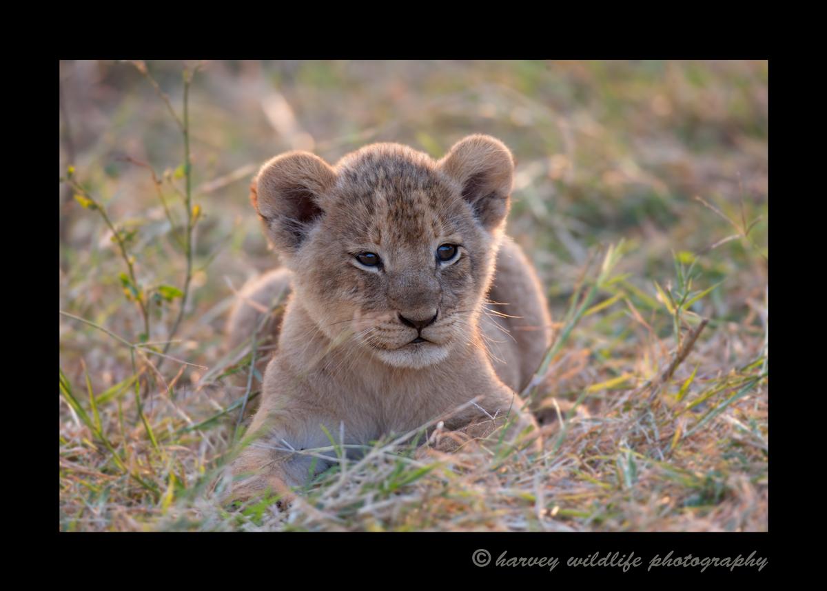 Lion_Cub_Masai_Mara