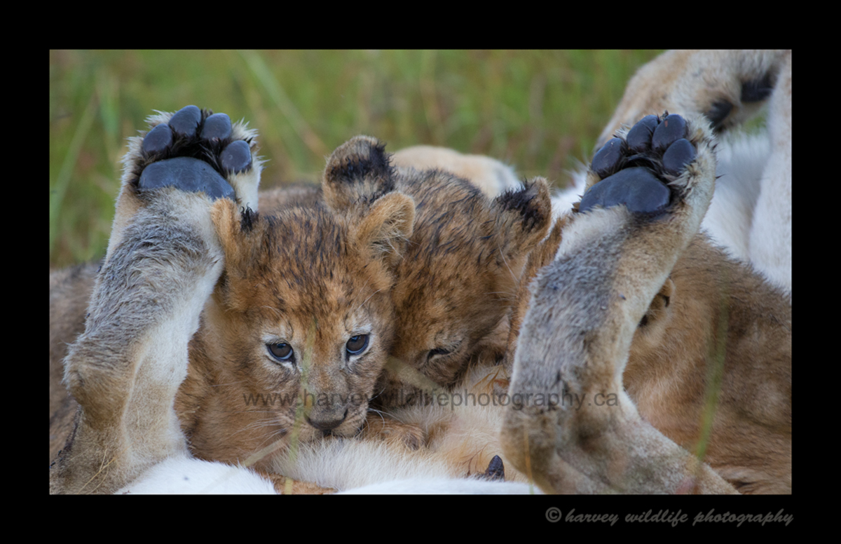 Picture of lion cubs nursing in Masai Mara National Park in Kenya. Photo by Greg of Harvey Wildlife Photography.