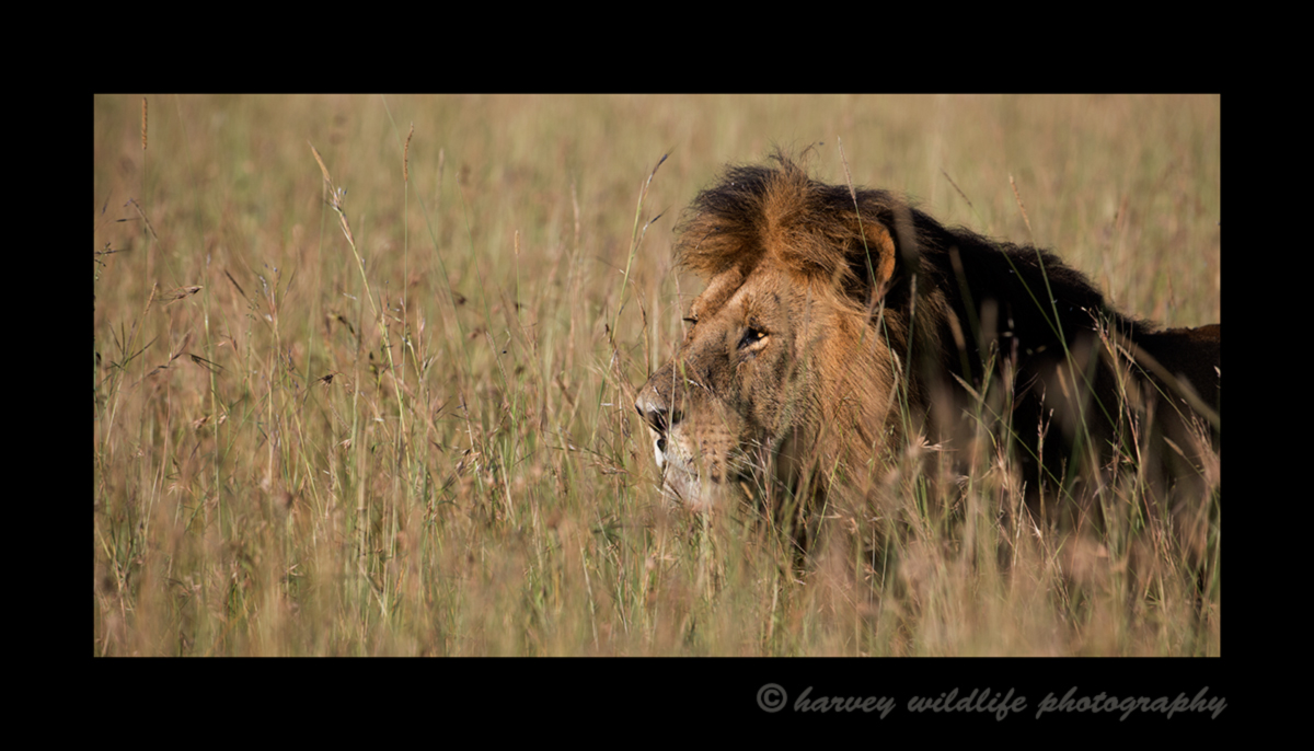 Picture of Morani the lion walking through the tall grass in the Masai Mara National Reserve in Kenya. Photo by Harvey Wildlife Photography.