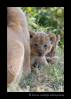 Lion_cubIMG_9769