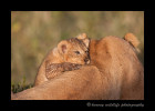 Lion_cub_and_lioness