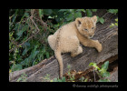 Lion_cub_on_log_IMG_9736