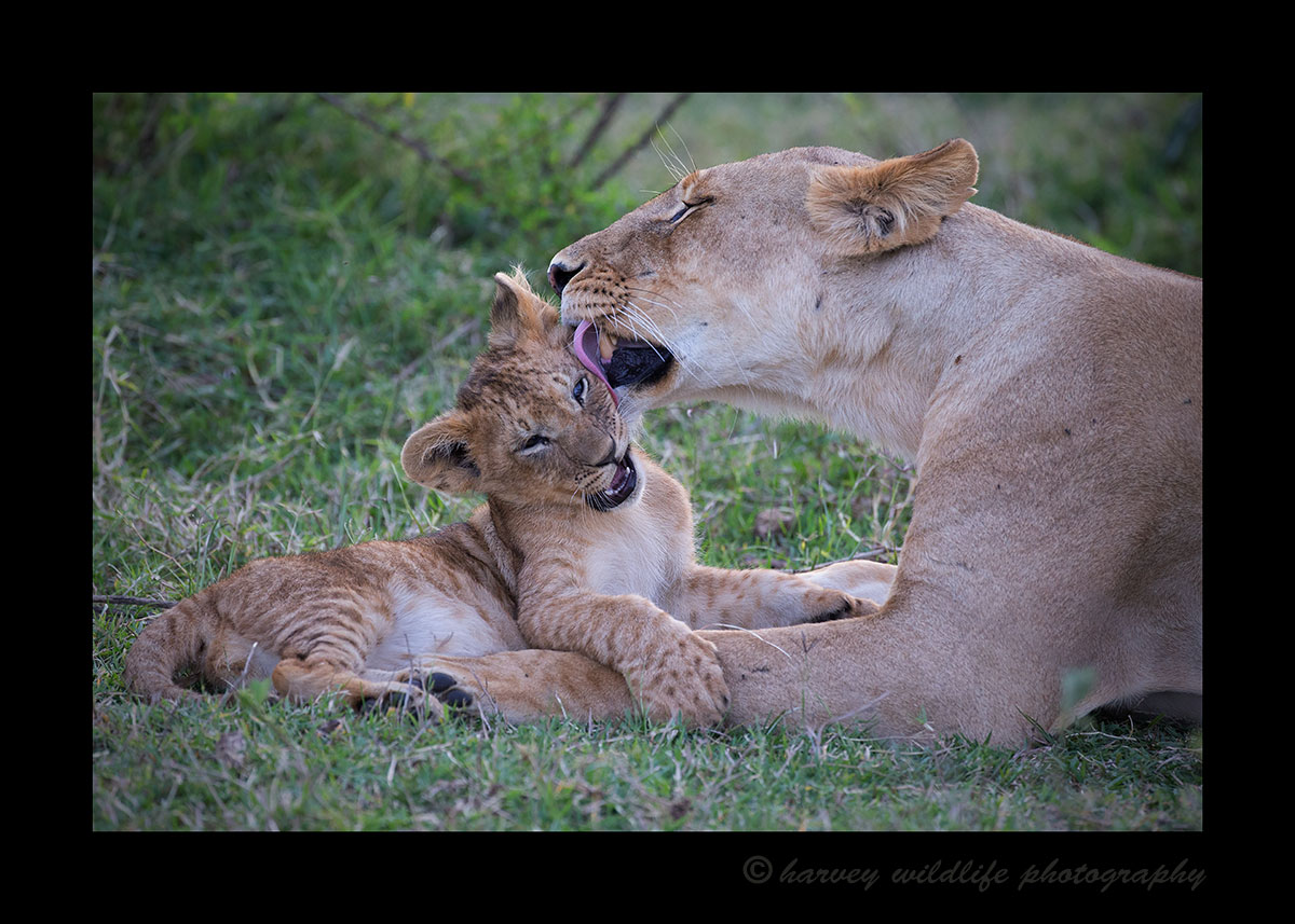 Lioness-Facewash