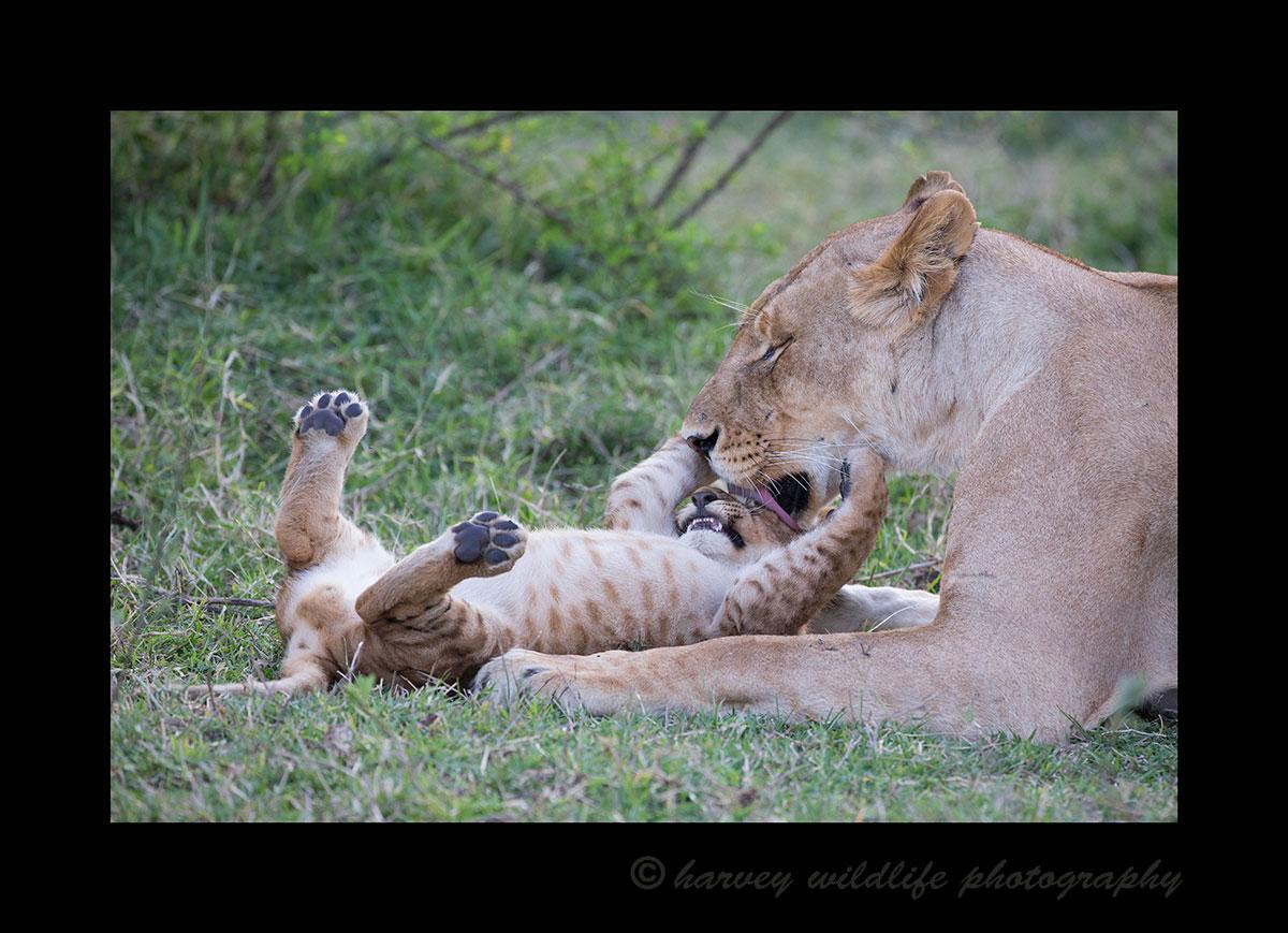 Lioness-Licking-Cub-II