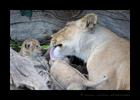 Lioness Rembo licking cub