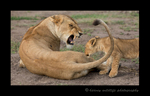 Picture of a lioness snarling at a lion cub. Photo taken in the Masai Mara National Reserve near Governors Camp in Kenya