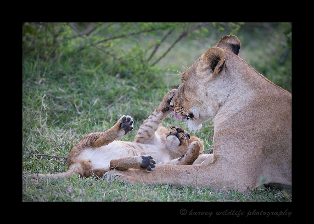 Lioness and cub grooming