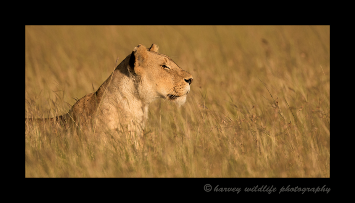 Picture of a lioness in tall grass in the Masai Mara National Reserve in Kenya. Photo by Harvey Wildlife Photography.
