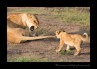 Picture of a lion cub pulling a lioness tail. Photo taken in the Masai Mara National Park near Governors Camp in Kenya.