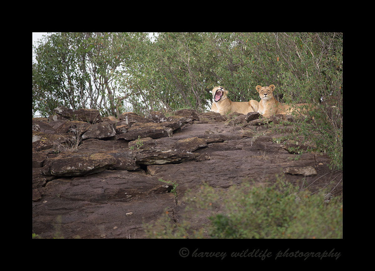 Mara Lionesses on the Rocks