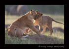 This juvenile lion came running up to his mom? or aunt? for a little play as a herd of elephants pass by in the background.