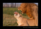 Lions-mating