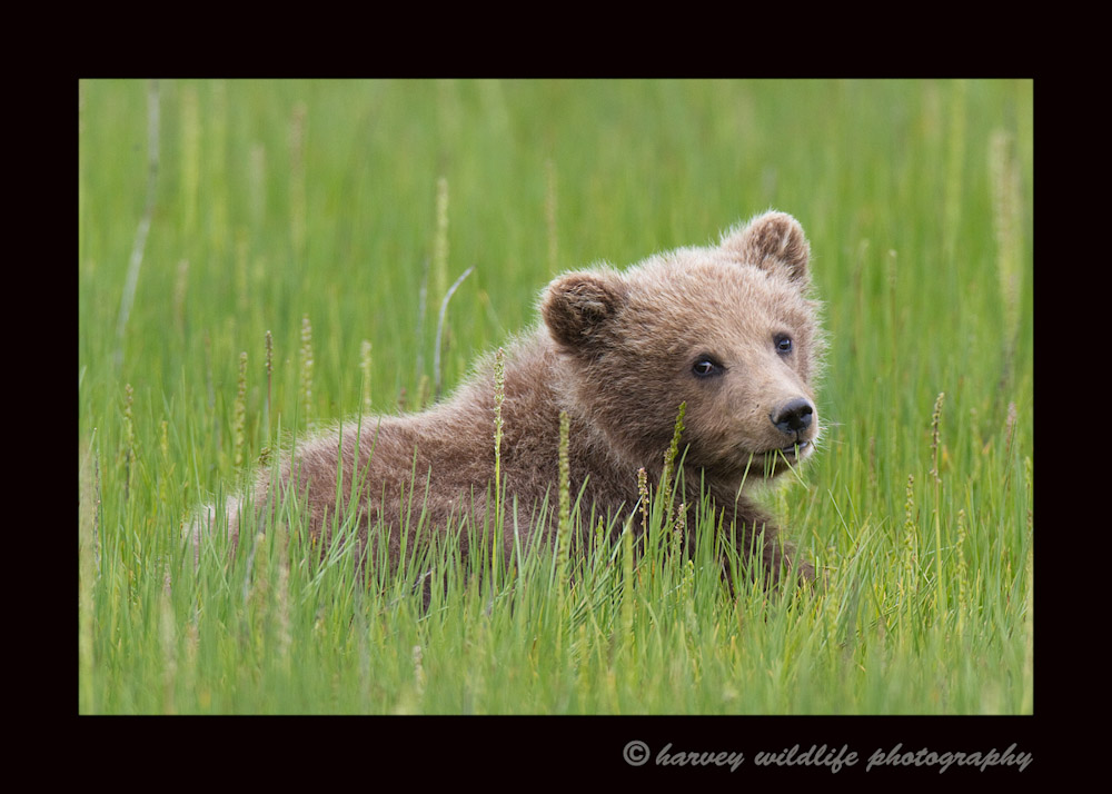 This young brown bear cub gave us one last look back before he left to join his siblings and mommy on their way to the beach.