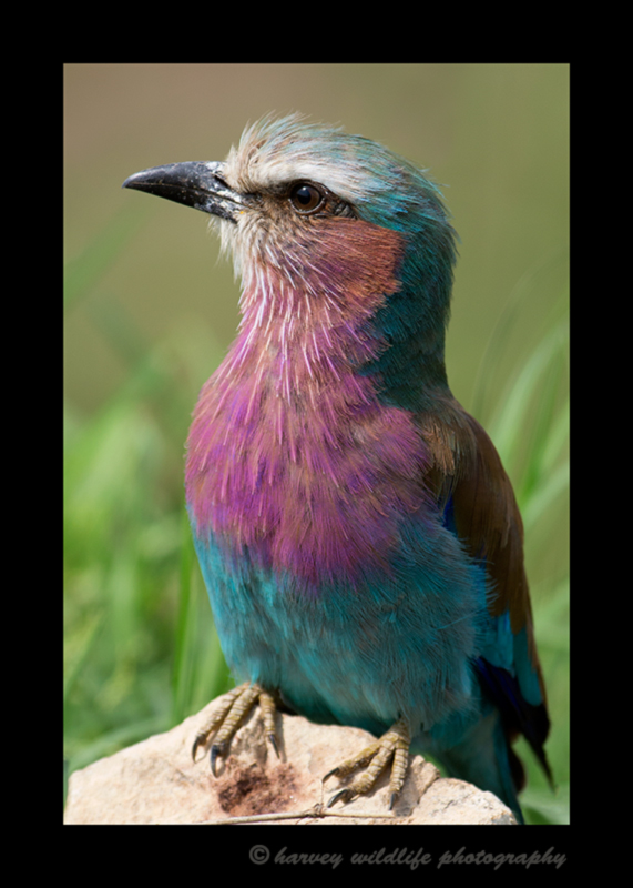 Picture of a lylac breasted roller in Masai Mara National Reserve, Kenya.