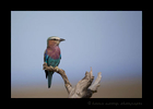 Lylac-Breasted-Roller