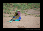 Picture of a lylac roller enjoying a dust bath in the Masai Mara National Reserve in Kenya.