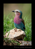 Picture of a lylac breasted roller in Masai Mara, Kenya. Photo by Harvey Wildlife Photography.