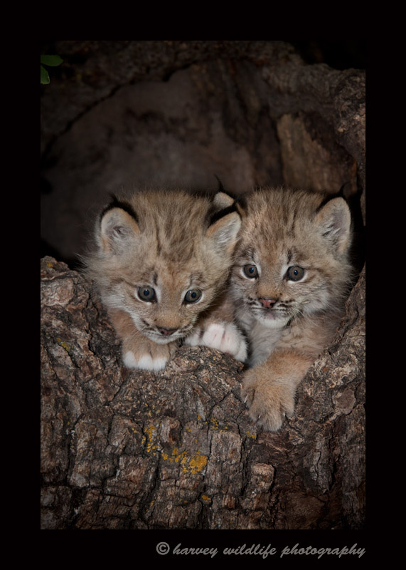 These lynx kittens are wildlife models.