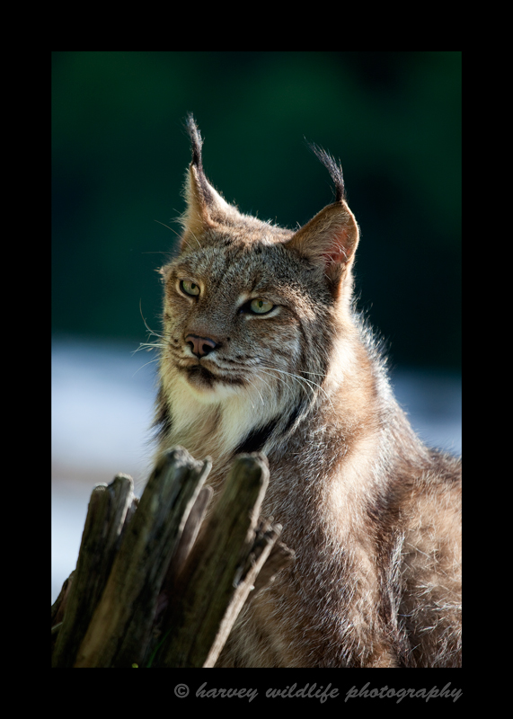 This Canadian lynx is a wildlife model.