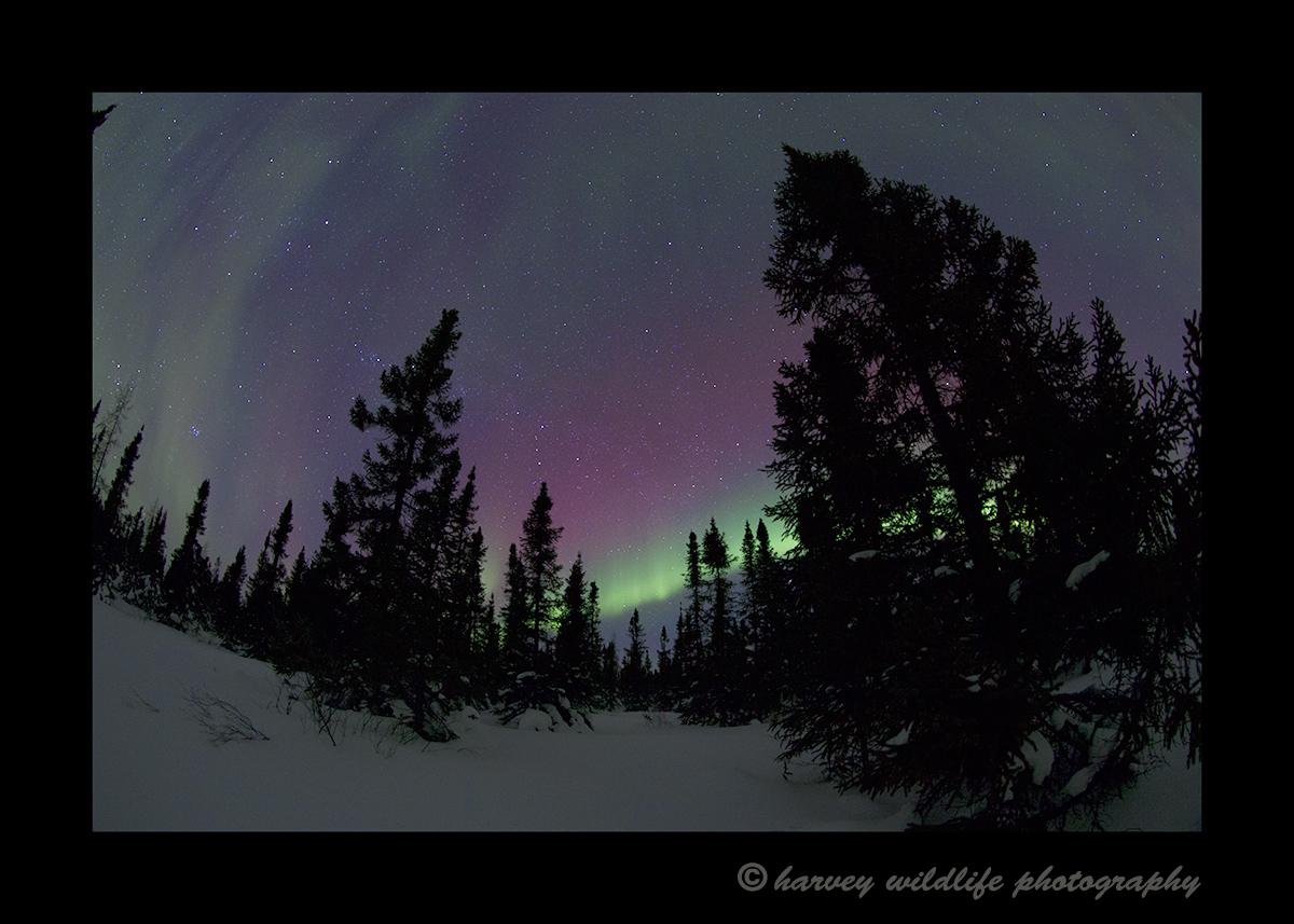 Magenta aurora borealis in Wapusk National Park. Photograph by Harvey Wildlife Photography