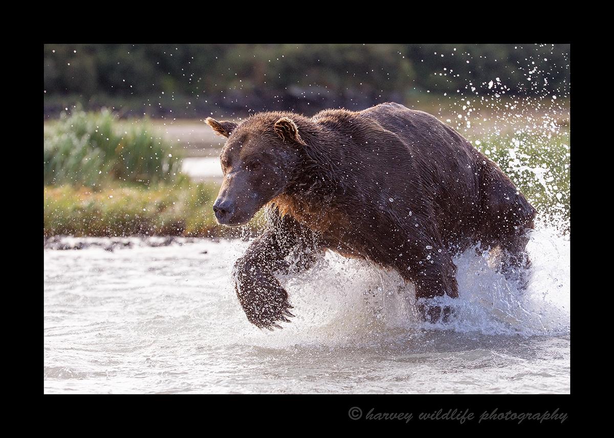 Male-Fishing-Brown-Bear
