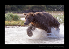 Male-Fishing-Brown-Bear