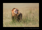 Male-Lion-Tasting-Scent