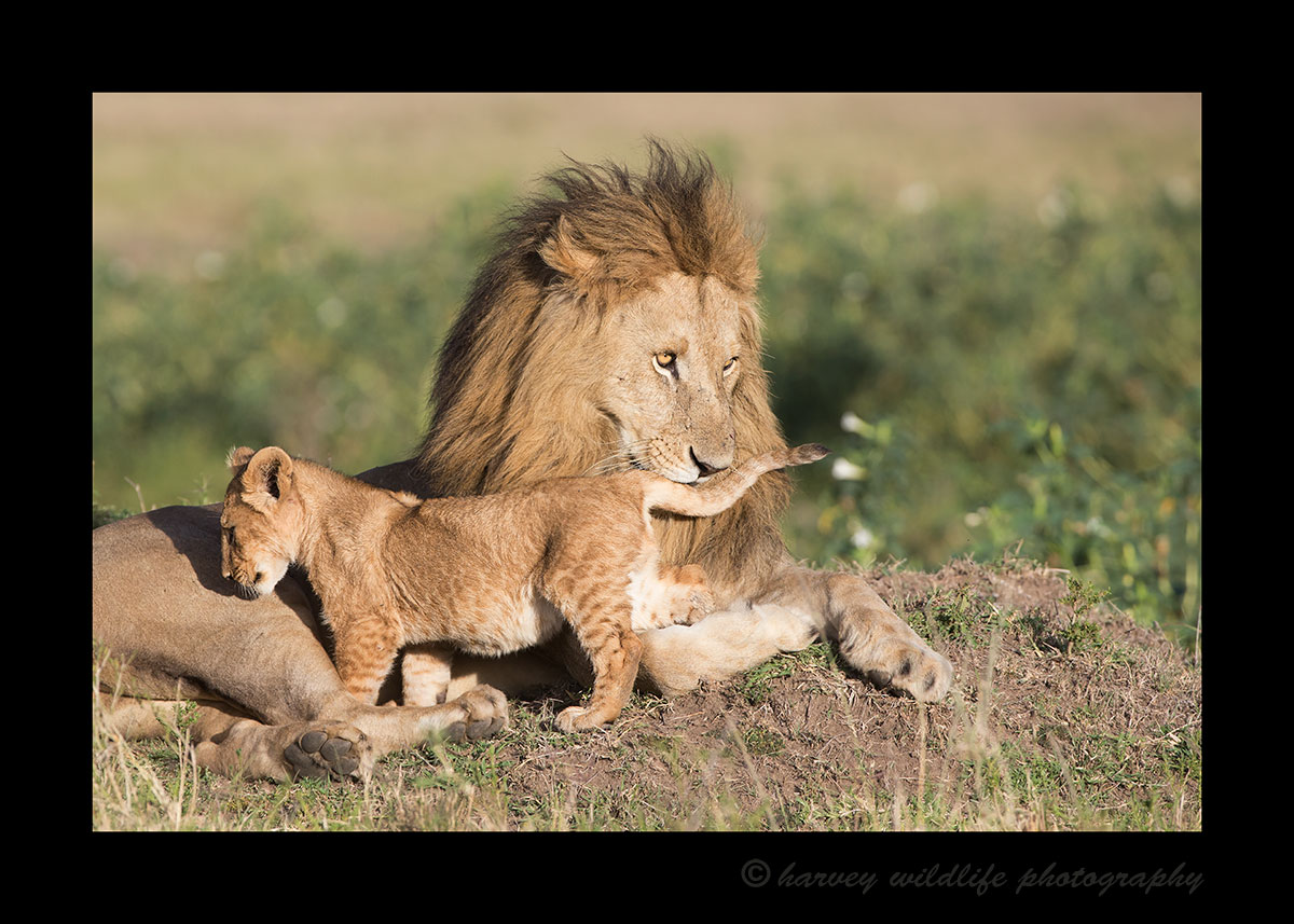 Male-Lion-and-Cub