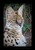 Male Serval Cat