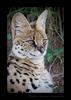 Male Serval Cat