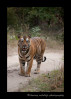 This is B2. He is a large male bengal tiger in Bandhavgarh National Park. 