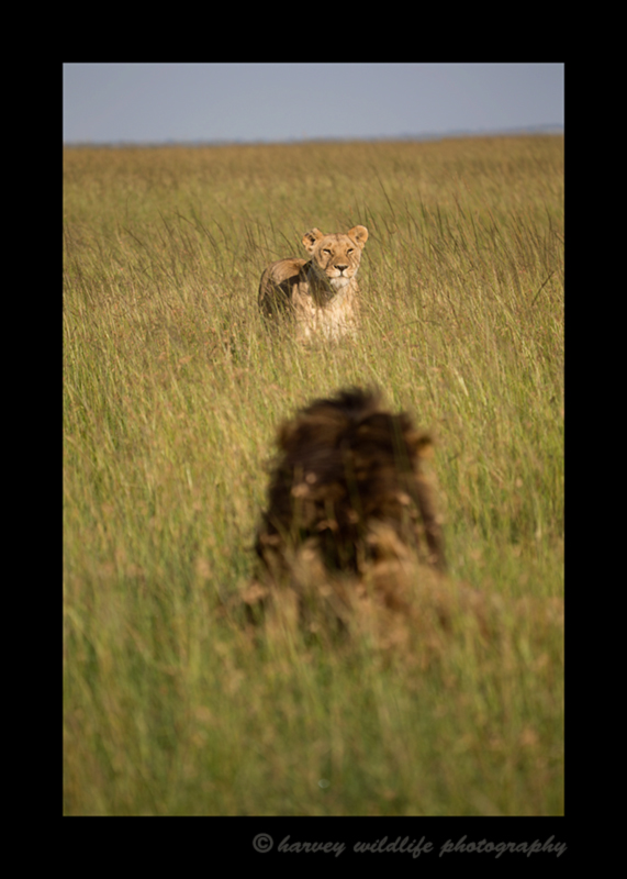 Picture of a male and female lion in the Masai Mara National Reserve. Photo by Harvey Wildlife Photography.