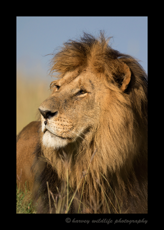 Picture of Lipstick, a male lion in the Masai Mara National Reserve. Photo by Greg of Harvey Wildlife Photography.
