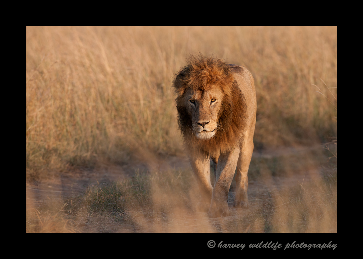 Male_Lion_Masai_Mara