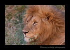 Male_Lion_Masai_Mara_1