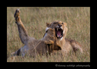 Male_lion_brothers