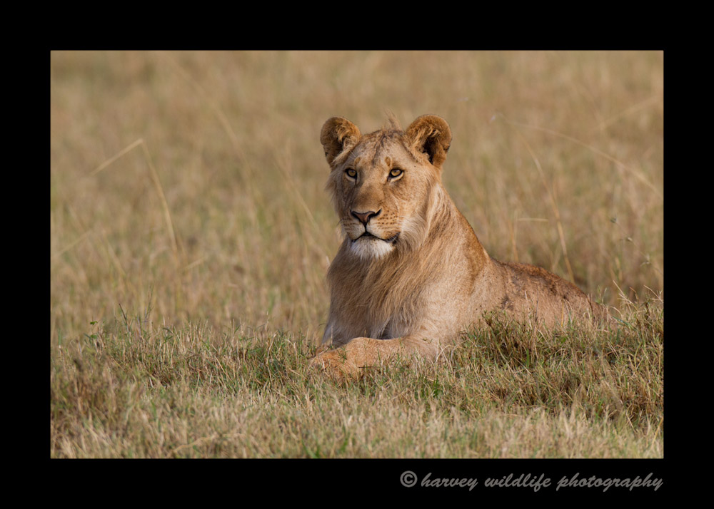 One of the four year old male lions from the Marsh Pride in the Masai Mara in Kenya.