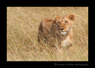 lioness stalking in long grass in the Masai Mara