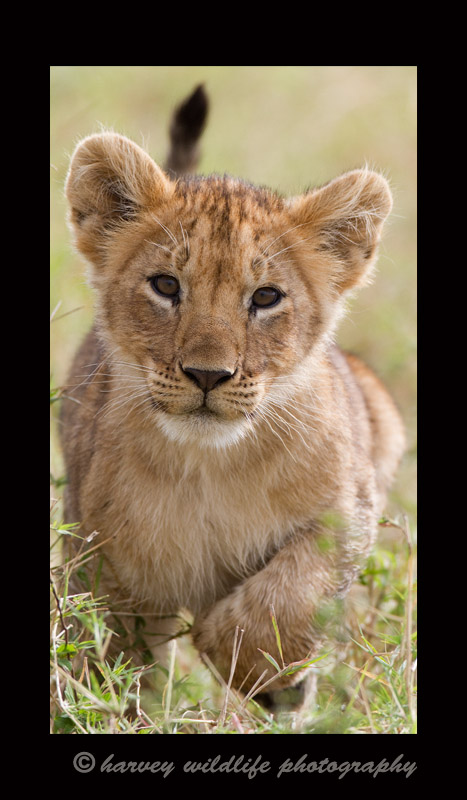 This cub was running towards us (probably 60 meters away). He was trying to keep up with his pride. He is part of the famous marsh pride in the Masai Mara.