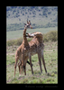 Masai Giraffes Fighting