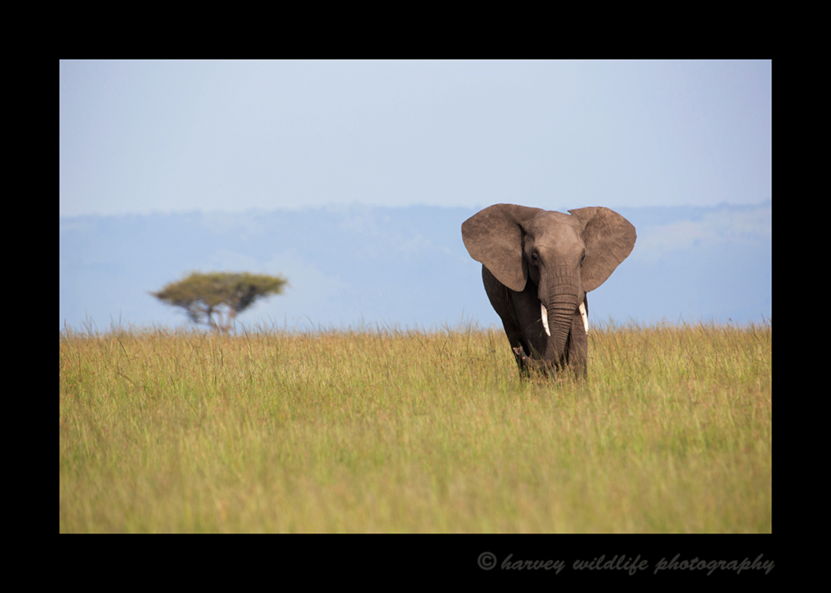Picture of an elephant in the Masai Mara National Reserve. Photo by Harvey Wildlife Photography.