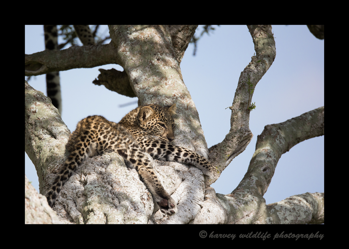 Picture of a leopard cub in the Masai Mara National Park in Kenya. Photo by Greg of Harvey Wildlife Photography.