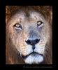 Picture of Blackie, a male lion living in Kenya's Masai Mara National Reserve.