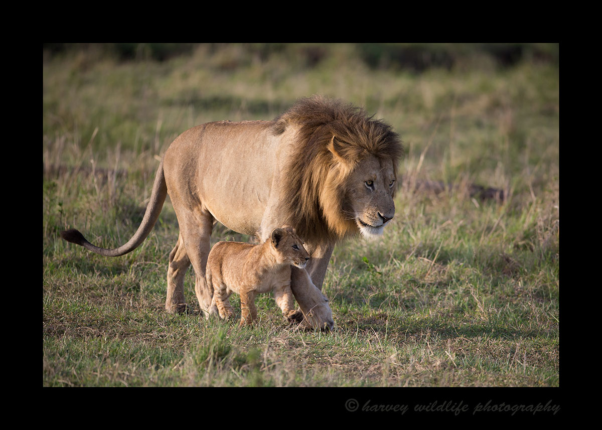 Marsh Lion King and Cub