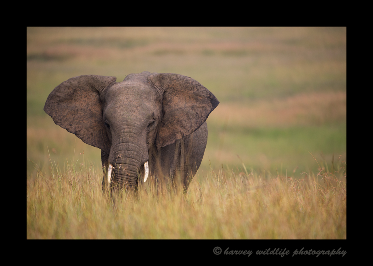Picture of a lone elephant in the Masai Mara in Kenya. Photo by Greg of Harvey Wildlife Photography. This image was taken while on safari at Little Governors Camp.